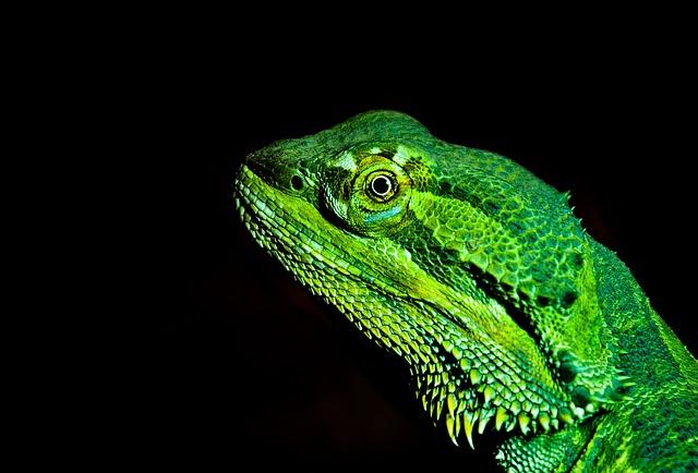 Bearded Dragon, Lizard, Prickly, Terrarium, Creature