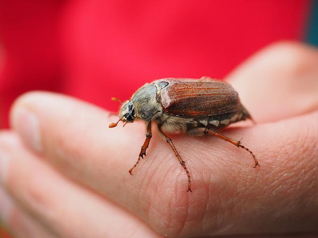 Maikäfer, Beetle, Animal, Insect, Krabbeltier, Creature