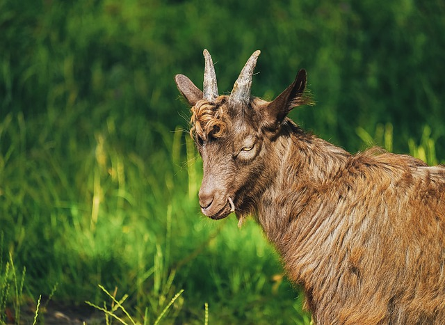 Goat, Billy Goat, Young, Animal, Creature, Horned