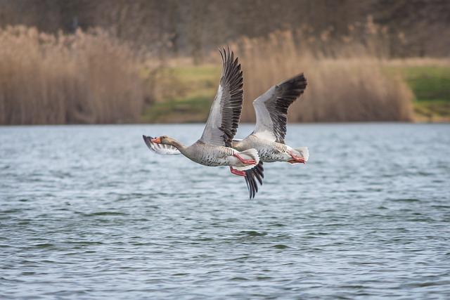 Geese, Greylag Goose, Lake, Creature, Goose, Bird