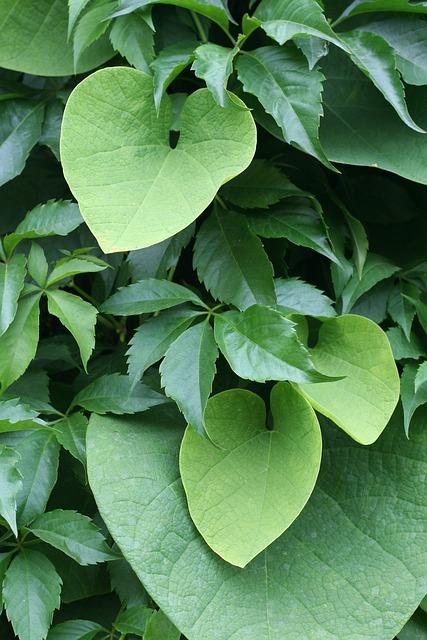 Aristolochia Wielkolistny, Aristolochia Durior, Creeper