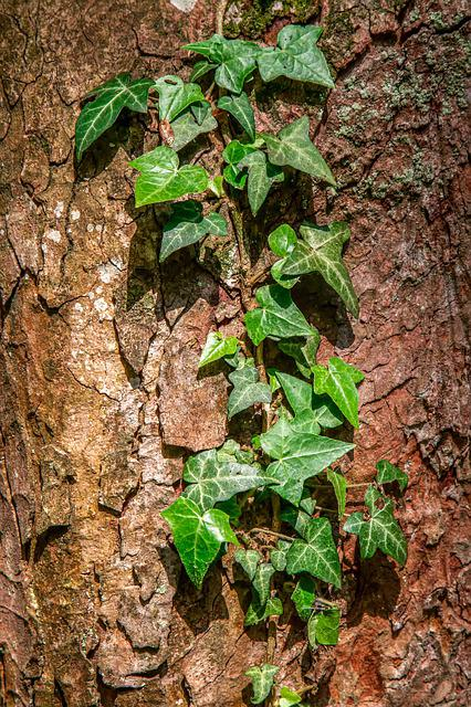 Ivy, Tribe, Creeper, Plant, Entwine, Ranke, Nature