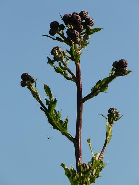 Creeping Thistle, Acker Thistle, Cirsium Arvense