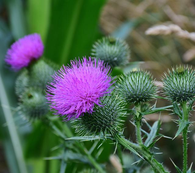 Thistle, Acker Thistle, Creeping Thistle, Violet