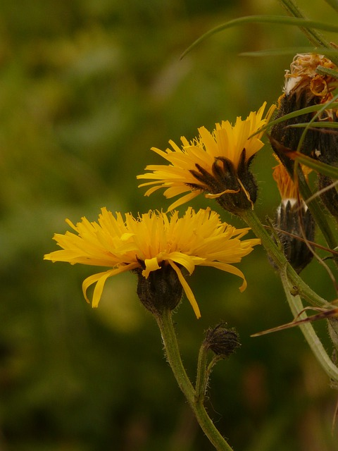 Berg Hawksbeard, Crepis Bocconii, Hawksbeard, Crepis