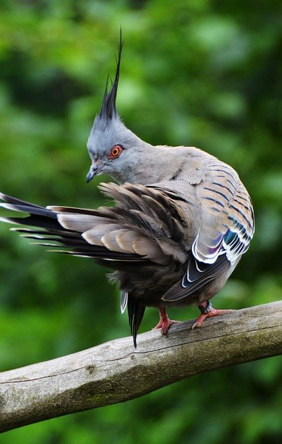 Pigeon, Bird, Animal, Crested Pigeon, Plumage, Wildlife