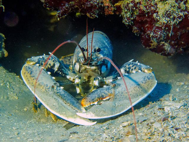 Lobster, Diving, Croatia
