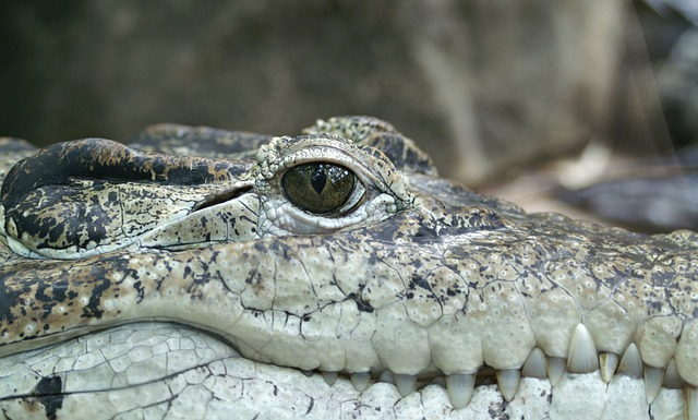 Crocodile, Animal, Eye, Alligator, Reptile, Hunter