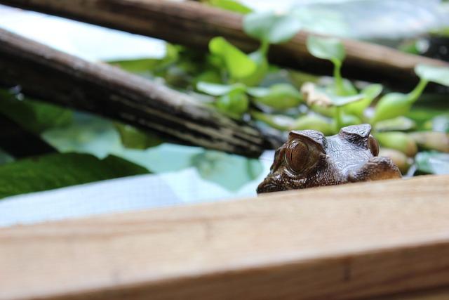 Crocodile, Caiman, Watching, Eye, Lizard