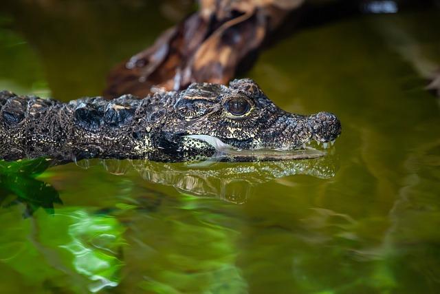 West African Dwarf Crocodile, Croc, Crocodile, Small