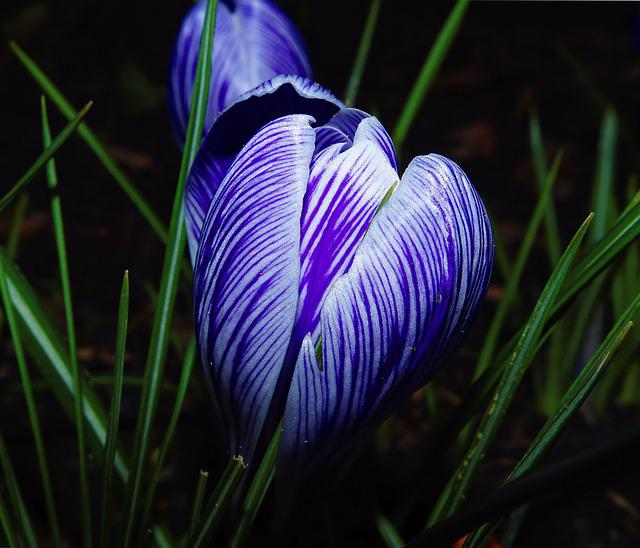 Crocus, Close, Blue And White Striped, Holland, Garden