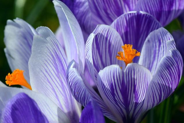 Crocus, Spring, Purple, Stripes, Bright, Blossom, Bloom