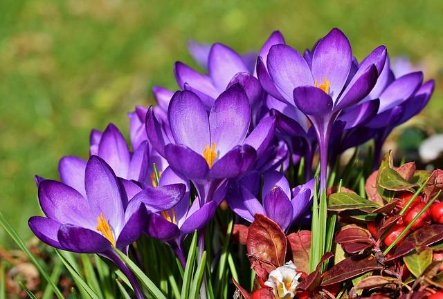 Crocus, Schwertliliengewaechs, Violet, Early Bloomer
