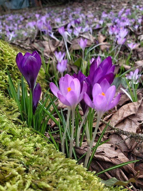 Crocus, Early Bloomer, Spring, Schwertliliengewaechs
