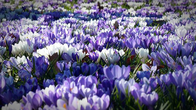 Crocus, Garden, Flowers, Early Left Awake, Spring