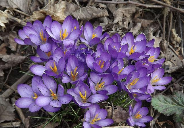 Crocus, Flowers, Spring, Nature, Forest, Vegetation