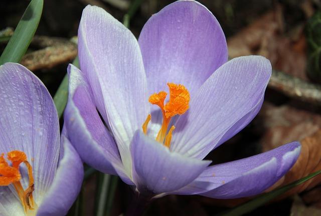 Crocus, Harbinger Of Spring, Purple, Early Bloomer