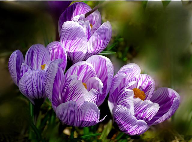 Crocus, Flower, Nature