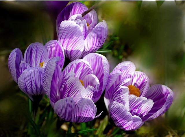 Crocus, Flower, Nature