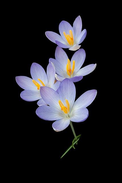 Crocus, Nature, Background, Crocuses, Flowers, Spring