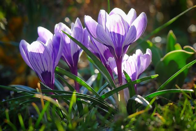 Nature, Flower, Plant, Flowers, Season, Spring, Crocus