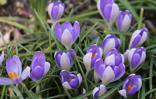 Crocus, Spring, Flowers, Nature, Easter, Season, Plant