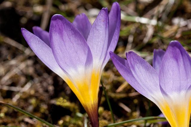 Crocus, Wildform, Schwertliliengewaechs, Spring Crocus