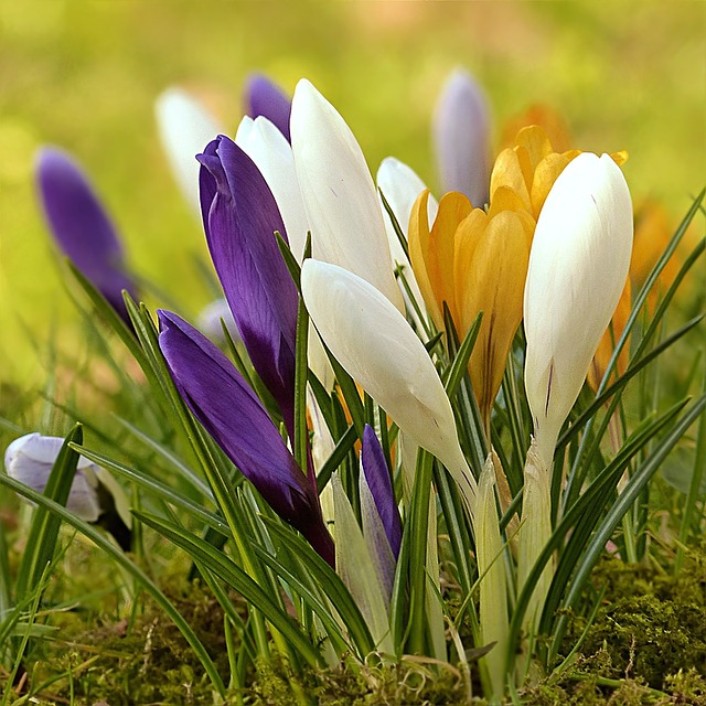 Crocus, Flower, Colorful, Spring