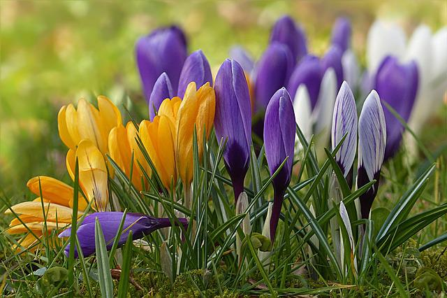 Crocus, Flower, Spring Flower, Colorful