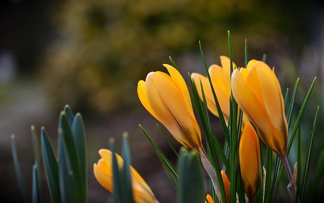 Crocus, Yellow Crocuses, Spring, Nature, Flowers