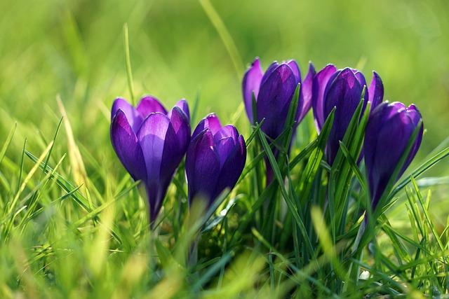 Crocus, Purple, Spring, Spring Flower, Early Bloomer