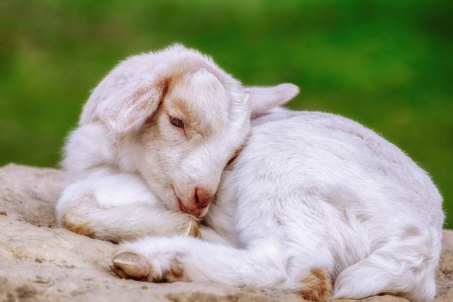 Goat, Kitz, Animal, Young Animal, Croissant