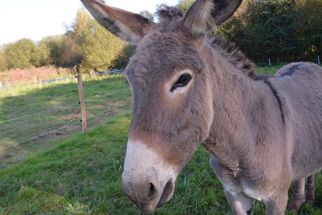 Donkey, Colt, Nanon, Head Profile, Croix Saint André