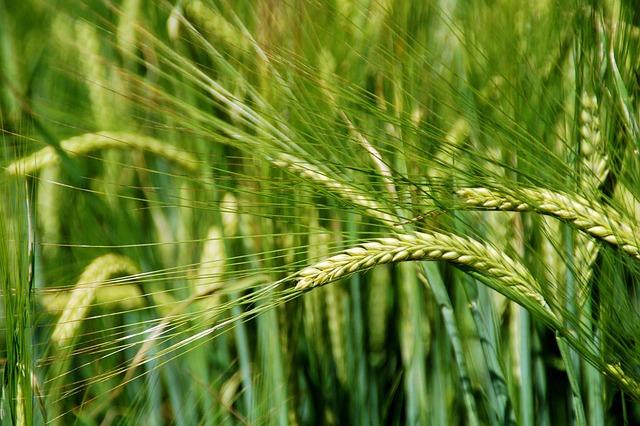 Grain, Crop, Wheat, Summer, Growth, Bloom, Aren