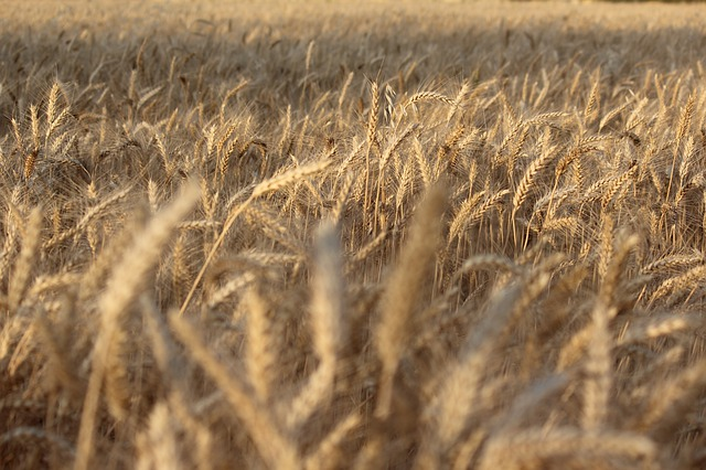 Wheat, Cereal, Field, Straw, Crop