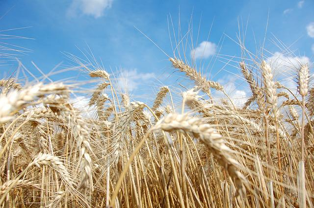 Wheat, Agriculture, Grain Wheat, Crop