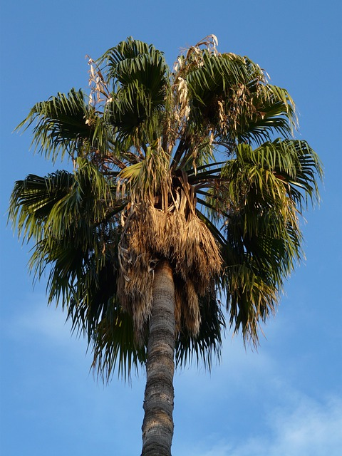 Palm, Date Palm, Phoenix Palm, Palm Tree, Crop