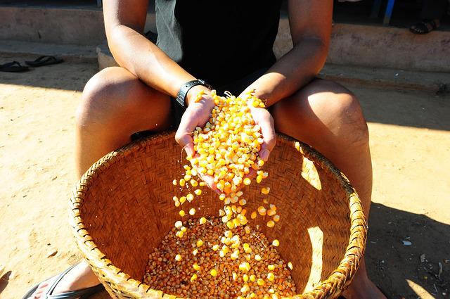 Corn, Farming, Nepal, Harvest, Food, Rural, Plant, Crop