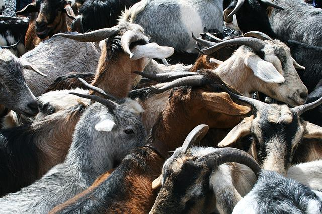 Goats, Horns, Goat's Head, Bock, Croud, Quantitative