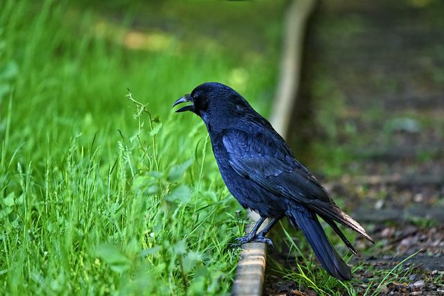 Crow, Bird, Animal, Wildlife, Corvus, Corvidae, Smart