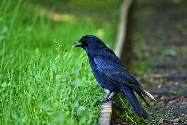 Crow, Bird, Animal, Wildlife, Corvus, Corvidae, Smart