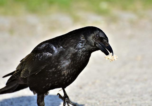 Raven, Crow, Raven Bird, Bird, Feather, Black, Bill