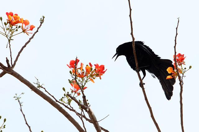 Crow, Ave, Black, Flowers