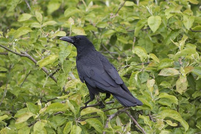 Crow, Raven, Nest, Baby Birds, Bird, Black, Animal