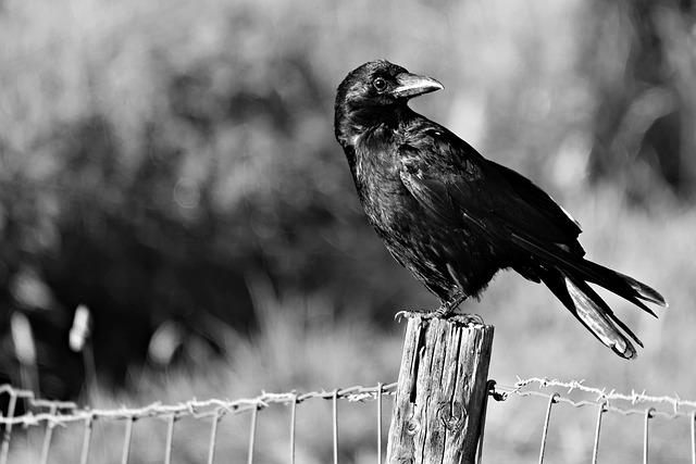 Crow, Bird, Animal, Corvus, Intelligent, Sitting, Post