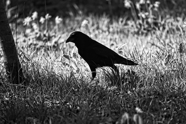 Crow, Bird, Animal, Corvus, Corvidae, Wildlife, Feather