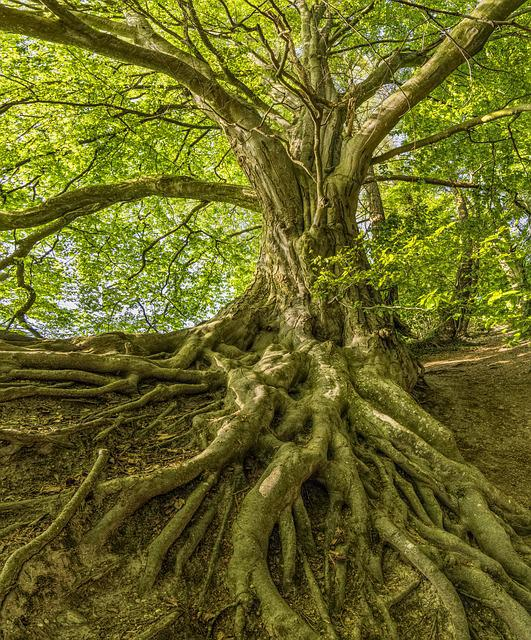 Beech, Tree, Roots, Forest, Nature, Crown, Canopy