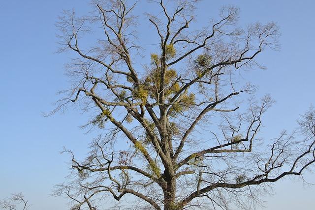 Mistletoe, Tree, Crown
