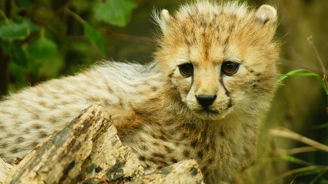 Cub, Cheetah, Bigcat, Wildlife, Animal, Carnivore