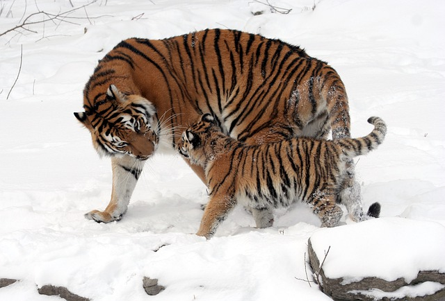 Tigers, Cub, Tiger Cub, Mother, Snow, Snowy
